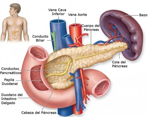 ] Anatomia do pâncreas